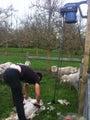 Life style block Sheep Shearing