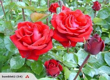 Photo Card - Rose, Ingrid Bergman