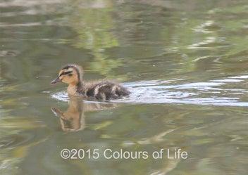 Little Duckling Ripples - 60x40cm Canvas