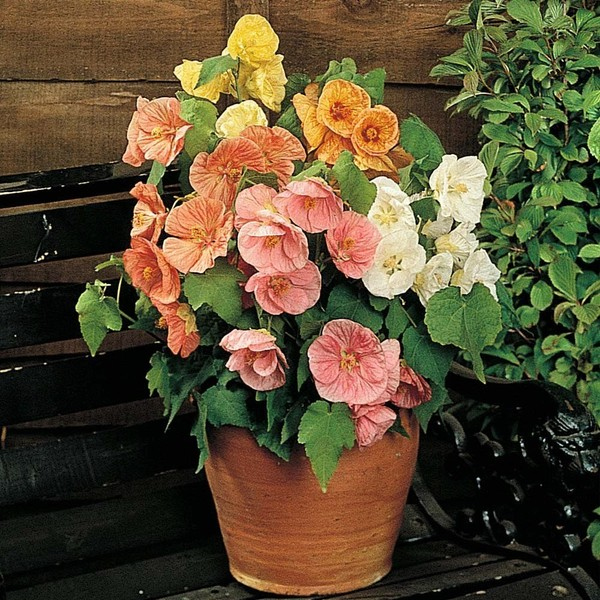 Abutilon Bella Mix F1 Hybrid 10 Seeds Trade Me