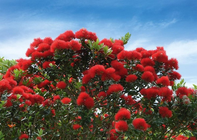 New Zealand Christmas Tree.Nz Native Pohutukawa 20 Seeds