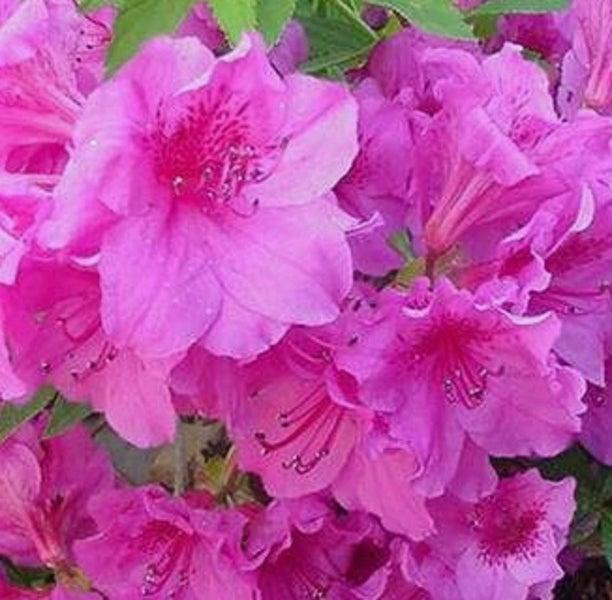 Azalea rose queen showy clusters ruffled deep pink flowers trade me azalea rose queen showy clusters ruffled deep pink flowers mightylinksfo