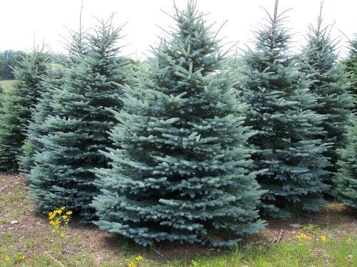 Christmas Tree Seeds.Colorado Blue Spruce X 10 Seeds 2019 Seed Great Xmas Tree Blue Foliage