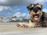 Loki, Stud Miniature Schnauzer: proven success!!