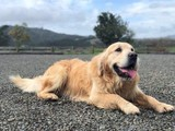 Carta - Golden Retriever Stud