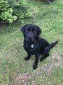 Purebred Labrador Retriever Stud Sire