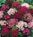 Dianthus Barbatus Sweet William -masses of flowers
