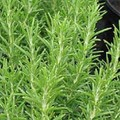 Rosemary - the most decorative & useful herb?