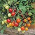 "Tomato ""Tumbler"" cascading, prolific, yummy, easy!"
