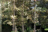 NZ Flax/Phormium and Kauri and other native Trees