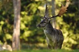 Guided Fallow Deer Hunts