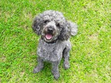 Miniature Poodle Stud Dog Available