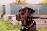 Purebred Labrador Stud Sire