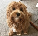 ** Beautiful Cavoodle Stud**