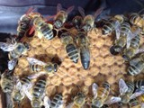 QUEEN BEES CARNIOLAN-MATED AND LAYING