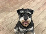 Loki, Stud Miniature Schnauzer: proven success!