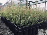 MANUKA SEEDLINGS – FAR NORTH SEED SOURCED (HIGH UM
