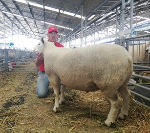 Texel Rams for Lease