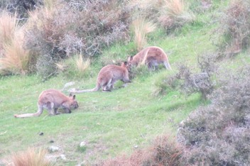 Guided or unguided fallow and wallaby hunts