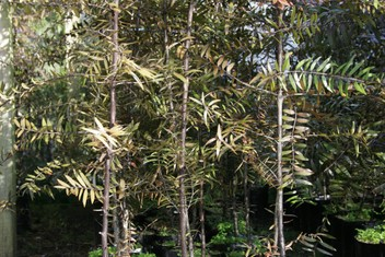 NZ Flax/Phormium and Kauri Trees