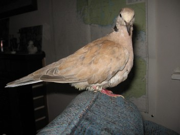 Lost Pet Barbary Dove!!