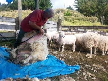 Shearing, Fencing & lifestyle block assistance