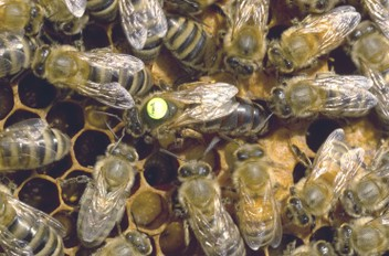 Top quality Queen bees for sale