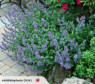 Nepeta Walkers Low Catmint Trade Me