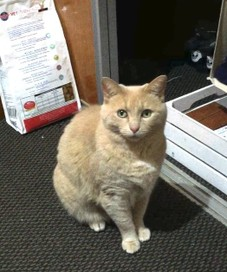 Pale ginger cat missing from Tahunanui