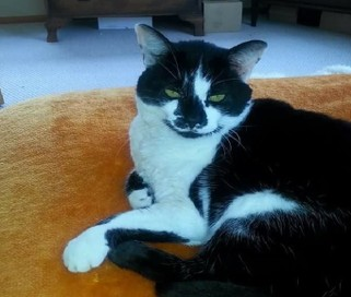 Lost from near Show Grounds Hastings - Black & white cat called Panda