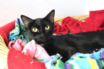 Lost - Small Black DSH Female