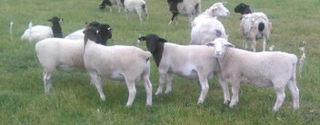 Rams for Lease